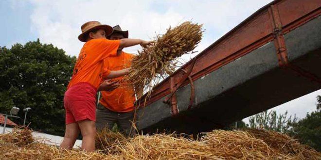 Due persone mentre caricano il grano