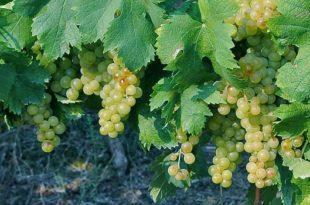 Filare di uva moscato
