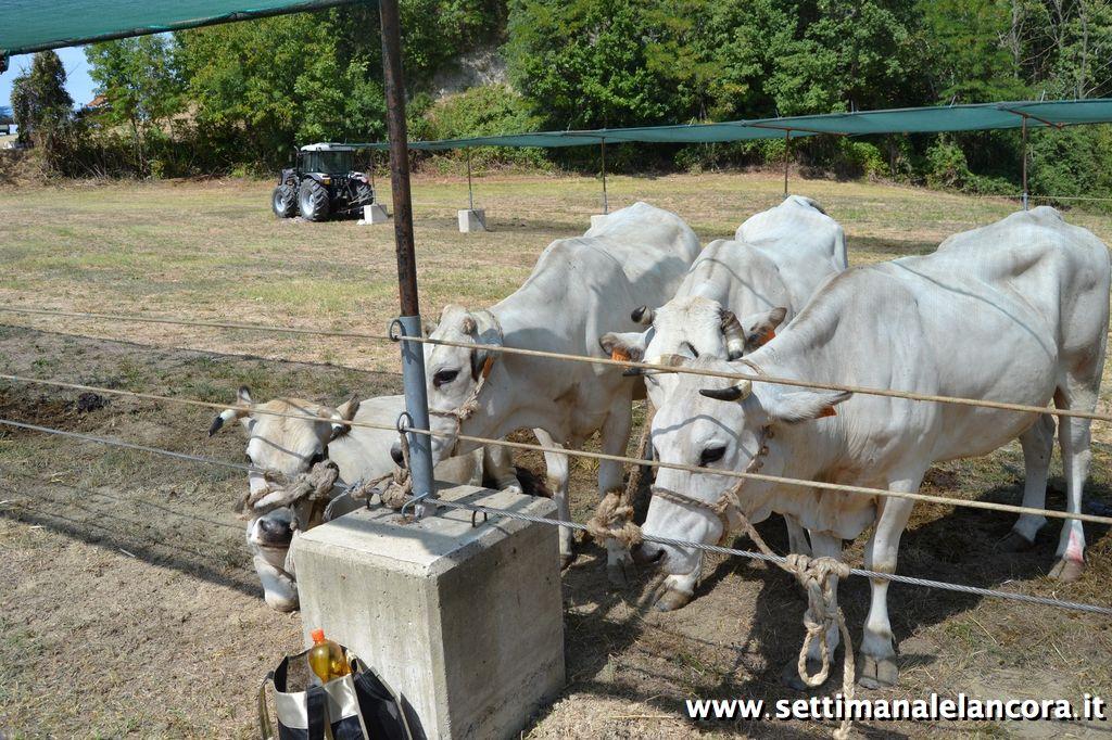 Photo of Una grande rassegna del bovino castrato piemontese
