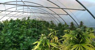 Piantagione di marijuana a Cavatore