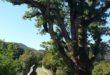 Alberi monumentali pargo del Beigua