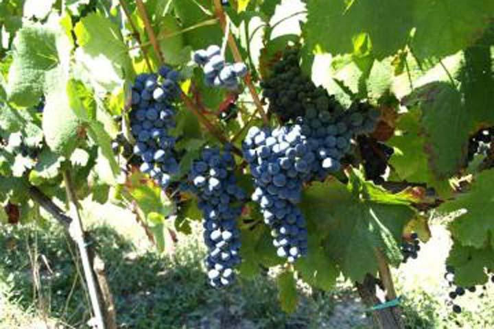 Photo of La Vignaioli Piemontesi sigla un accordo per sostenere i viticoltori in vendemmia