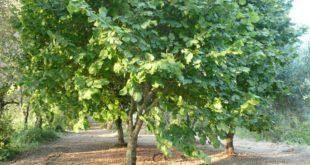 albero, nocciolo