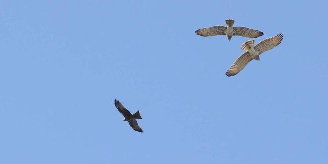 Al Parco Beigua annata eccezionale per la migrazione dei bianconi