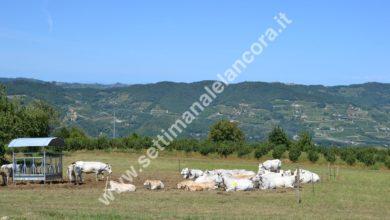 San Giorgio Scarampi - fiera del bovino