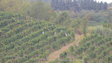 Schedario viticolo