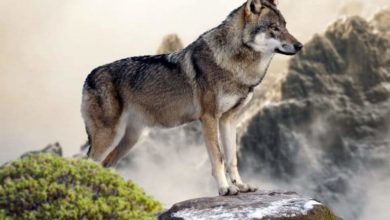 """Photo of Tutela del lupo, De Ferrari (M5S Liguria): """"Toti collabori con il Ministero dell'ambiente …. Pronta un'interrogazione m5s"""""""