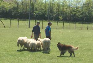 Cassine sheepdog