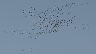 Photo of Parco del Beigua, migrazione delle gru