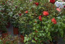 Photo of Apprezzamento dell'assessore Protopapa per il via libera alla vendita al dettaglio di semi, piante e fiori