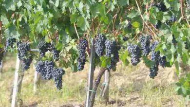 Photo of Da Cia le proposte per limitare la crisi del vino