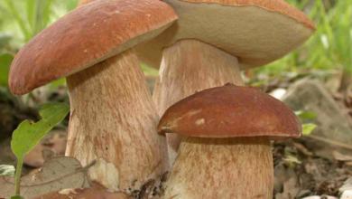 """Photo of Unione Montana """"Alto Monferrato Aleramico"""": raccolta funghi epigei spontanei anno 2020"""