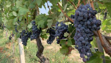 Photo of Settore vitivinicolo: servono urgenti interventi straordinari