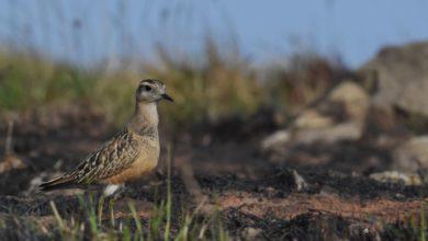 Photo of Bird trekking sulle tracce del Piviere tortolino