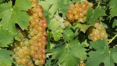 Photo of Con settembre è entrata nel vivo la raccolta delle uve